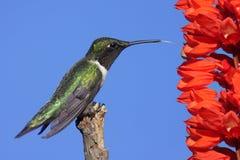 蜂鸟男性红宝石红喉刺莺 库存照片