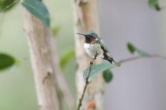 蜂鸟男性红宝石红喉刺莺 图库摄影