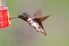 蜂鸟男性蜕变的红宝石红喉刺莺 库存图片