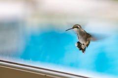 蜂鸟的特写镜头 免版税库存图片
