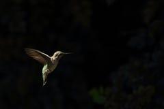 蜂鸟盘旋 图库摄影