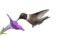 蜂鸟红喉刺莺查出的红宝石 免版税图库摄影