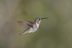 蜂鸟红褐色rufus selasphorus 免版税库存照片