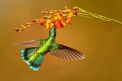 蜂鸟绿色紫罗兰色耳朵, Colibri thalassinus,喝花蜜 库存图片