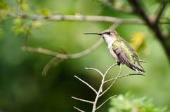 蜂鸟被栖息的红宝石红喉刺莺的结构树 免版税库存照片