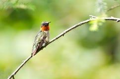 蜂鸟被栖息的红宝石红喉刺莺的结构树 免版税库存图片