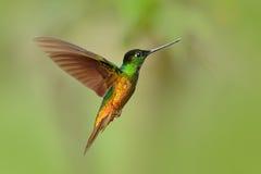 蜂鸟金黄鼓起了Starfrontlet, Coeligena bonapartei,与长的金黄尾巴,与开放翼的美好的行动飞行场面, 免版税库存图片