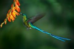 蜂鸟长尾的空气的精灵用长的蓝色从橙色花的尾巴哺养的花蜜 图库摄影