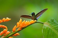 蜂鸟长尾的空气的精灵, Aglaiocercus kingi,用长的蓝色从橙色花的尾巴哺养的花蜜,美好的行动场面w 免版税库存图片