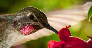 蜂鸟顶头射击与反射性红色下巴的 图库摄影