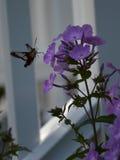 蜂鸟飞蛾和福禄考 免版税库存照片