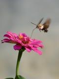 蜂鸟飞蛾收集在非洲雏菊的蜂蜜 免版税图库摄影