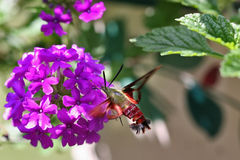 蜂鸟飞蛾 库存图片