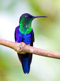 蜂鸟飞行在哥斯达黎加 免版税库存照片
