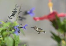 蜂鸟飞行在庭院里 库存照片