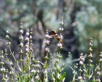 蜂鸟飞行 库存照片
