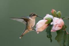 蜂鸟饥饿红宝石红喉刺莺 库存图片