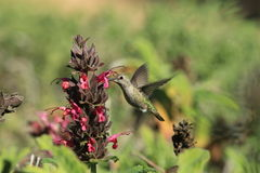 蜂鸟饮用的花蜜 免版税库存图片