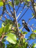 蜂鸟鸟被栖息在一棵树顶部有天空蔚蓝背景 免版税库存图片