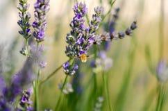 蜂鸟鹰飞蛾盘旋在淡紫色花的, Macrogl 免版税库存照片