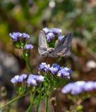 蜂鸟鹰飞蛾盘旋在f的Macroglossum stellatarum 免版税图库摄影
