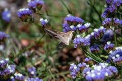 蜂鸟鹰飞蛾盘旋在f的Macroglossum stellatarum 库存图片