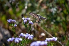 蜂鸟鹰飞蛾盘旋在f的Macroglossum stellatarum 库存照片