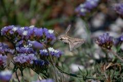蜂鸟鹰飞蛾盘旋在f的Macroglossum stellatarum 图库摄影