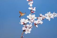 蜂鸟鹰飞蛾 库存图片