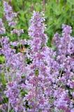蜂鸟鹰飞蛾- Macroglossum stellatarum 免版税图库摄影
