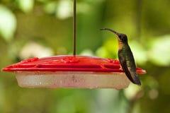 蜂鸟,加勒比 库存图片