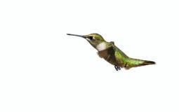 蜂鸟,查出。 免版税库存图片