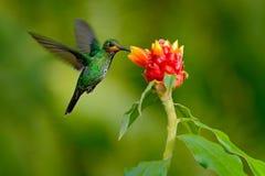 蜂鸟绿色加冠了精采, Heliodoxa jacula,从哥斯达黎加飞行的绿色鸟在与清楚的b的美丽的红色花旁边 免版税库存照片