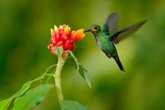 蜂鸟绿色加冠了精采, Heliodoxa jacula,从哥斯达黎加飞行的绿色鸟在与清楚的b的美丽的红色花旁边 图库摄影