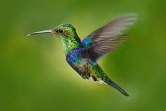 蜂鸟绿色加冠了Woodnymph, Thalurania fannyi,与开放翼的美好的行动飞行场面,明白绿色背景, Ecuado 图库摄影