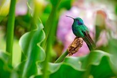 蜂鸟绿色紫罗兰色耳朵, Colibri thalassinus,与绿色和砰花在自然生态环境,从山的鸟热带为 免版税库存图片