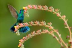 蜂鸟绿色紫罗兰色耳朵, Colibri thalassinus,在美丽的砰橙黄色花旁边的猛冲在自然生态环境,鸟从 免版税库存照片