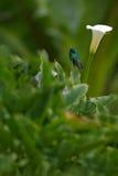 蜂鸟绿色紫罗兰色耳朵(Colibri thalassinus)有白花的在自然生态环境, Savegre,哥斯达黎加 免版税库存图片