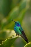 蜂鸟绿色紫罗兰色耳朵(Colibri thalassinus)有绿色花的在自然生态环境, Savegre,哥斯达黎加 免版税图库摄影