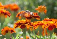蜂鸟 图库摄影
