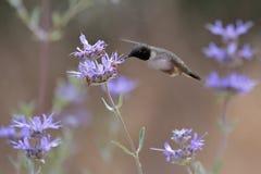 蜂鸟 免版税图库摄影