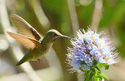 蜂鸟 免版税库存图片