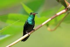 蜂鸟Canivet ` s绿宝石, chlorostilbon canivetii,坐分支,尼加拉瓜 免版税库存照片