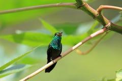 蜂鸟Canivet ` s绿宝石, chlorostilbon canivetii,坐分支,尼加拉瓜 库存图片