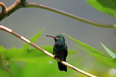 蜂鸟Canivet ` s绿宝石, chlorostilbon canivetii,坐分支,尼加拉瓜 免版税图库摄影
