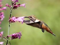 蜂鸟pentstemon 库存图片