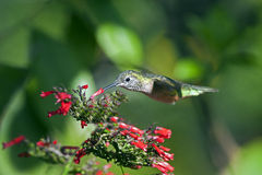 蜂鸟rufuos 图库摄影