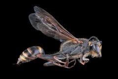 蜂,交换,蜂蜜,狂放背景的花 免版税图库摄影
