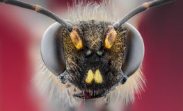 蜂,交换,蜂蜜,狂放背景的花 免版税库存照片