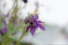 蜂,在会开蓝色钟形花的草的土蜂 库存图片